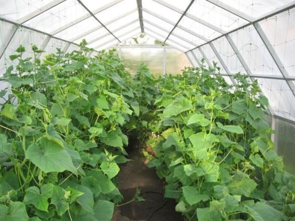 Як вирощувати огірки в теплиці цілий рік
