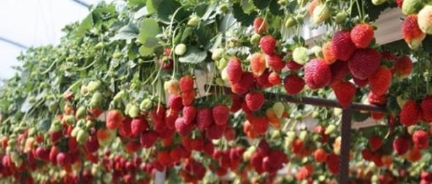 Вирощування полуниці в теплицях круглий рік