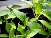 Вирощування розсади перцю - підготовка насіння, ґрунту, пікіровка, догляд.