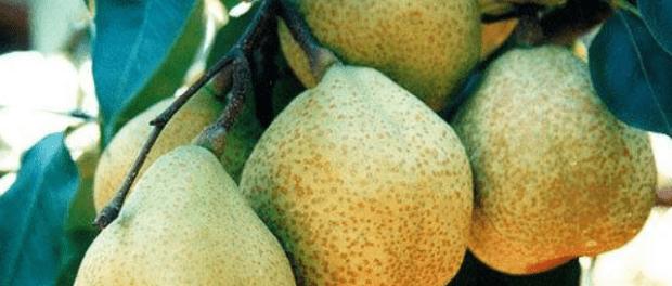 Посадка груші восени та навесні. Посадка саджанців груш