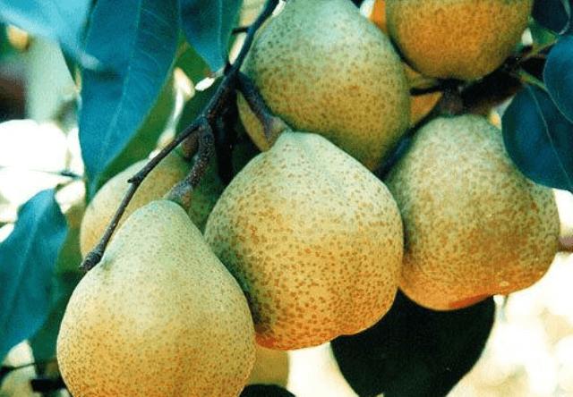 Посадка груші