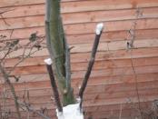 Щеплення плодових дерев. Чим прищеплювати дерева