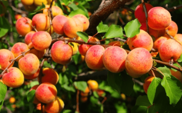 Обрізка абрикосу