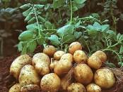 Способи посадки картоплі - під картон, мульчу, здвоєними рядами