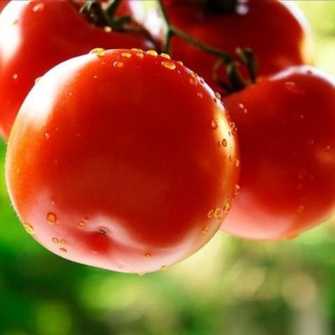 Як поливати помідори