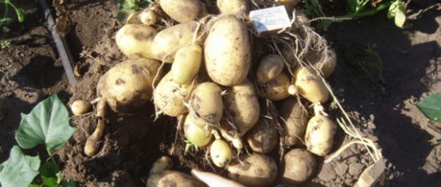 Натуральні добрива для картоплі.Як удобрювати при посадці