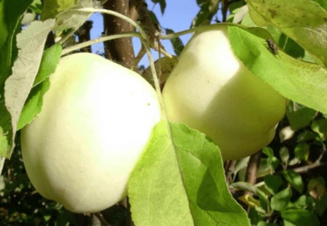 Щеплення яблуні