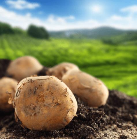 Хвороби картоплі