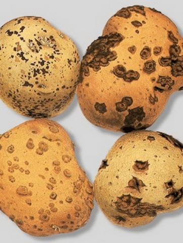 Хвороби картоплі чорна парша