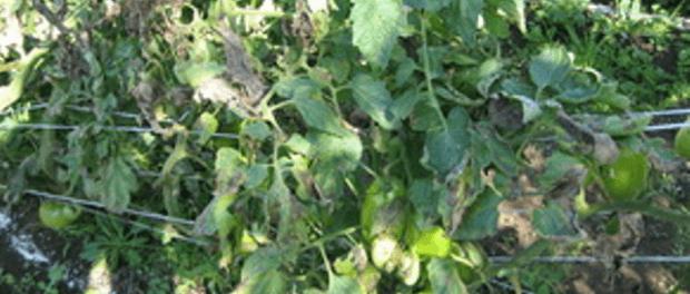 Фітофтороз картоплі і томатів