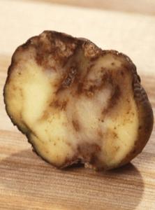 фітофтороз картоплі (почорніння)