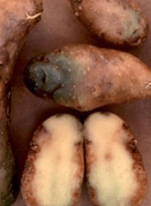 хвороба картоплі - фітофтороз