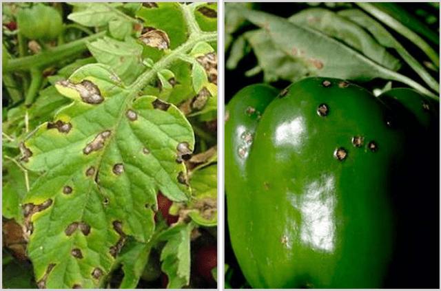 Кладоспоріоз (листова цвіль, бура плямистість)