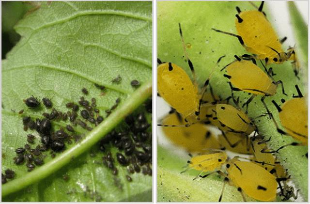 Як боротися із хворобами і шкідниками перцю