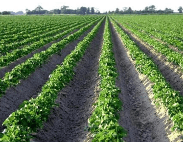 Вирощування картоплі за голландською технологією