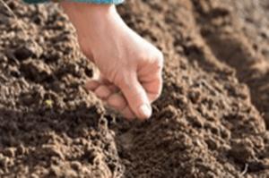 Агротехніка вирощування щавлю на відкритому ґрунті