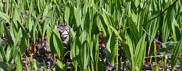 Черемша або ведмежа цибуля, рослина поєднує в собі смак часнику та цибулі