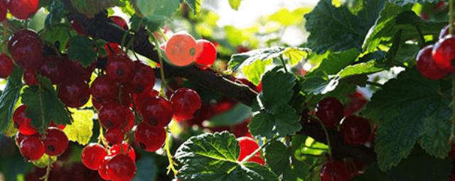 вирощування червоної та чорної смородини в тіні