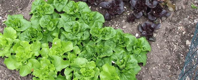 Салат-латук, одеський кучерявець