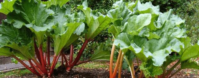 Ревінь Універсальний овоч, з кислих стебел