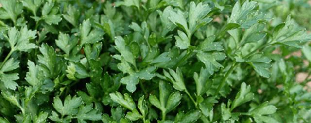 Зелень і пряні трави:базилік, петрушка, кінза