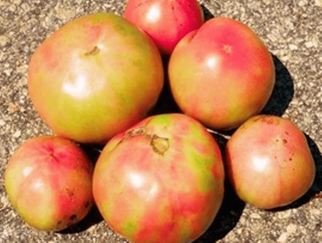 побуріння плодів помідорів - фото.