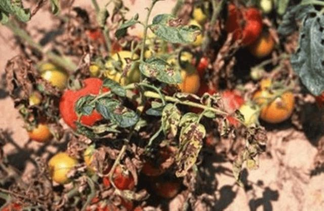 Септоріоз або біла плямистість листя томату