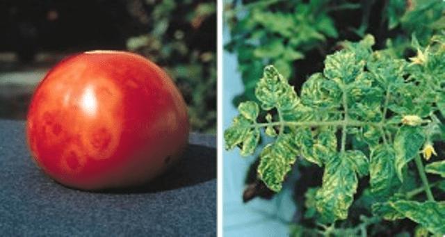 Мозаїкою в основному хворіють томати сортів відкритого ґрунту і народної селекції