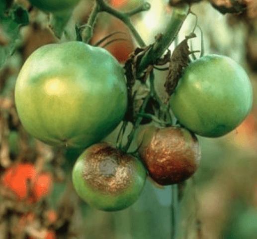 Фітофтороз томатів - фото.