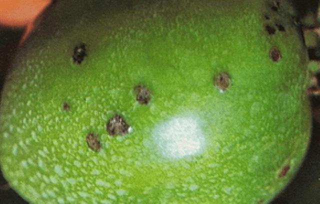 Чорна бактеріальна плямистість томатів фото