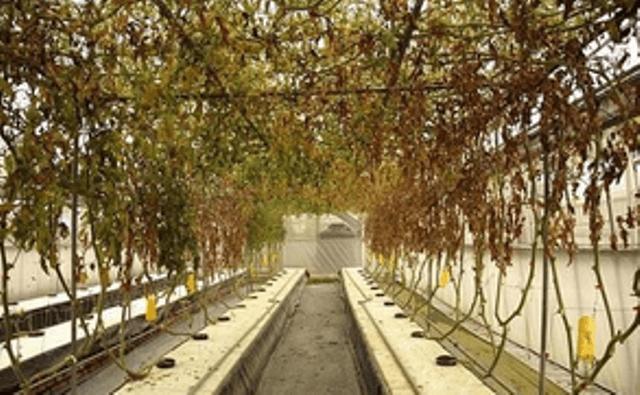 Фузаріозне в'янення томатів