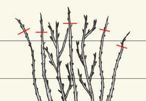 Схема обрізки малини навесні