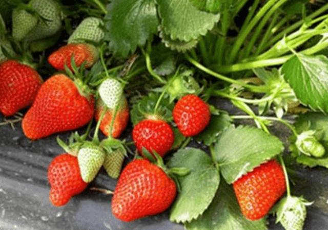 Обробка полуниці навесні