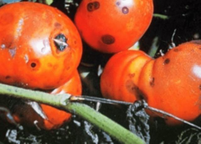 Антракноз томату