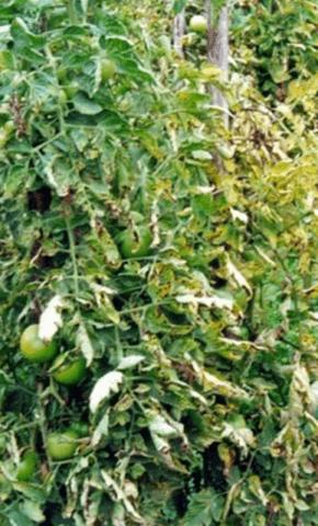 Бактеріальна плямистість листя томату