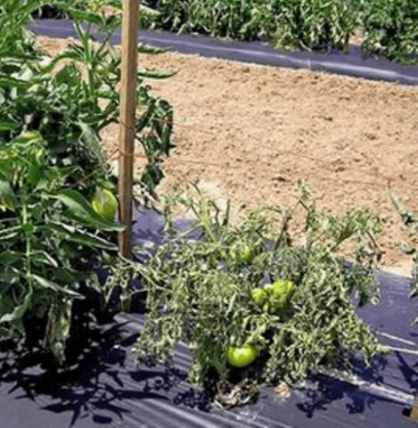 Плямисте в'янення томатів