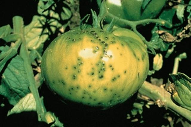 Бактеріальна крапчастість томатів