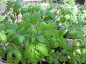 Основні проблеми з розсадою томатів і способи їх вирішення