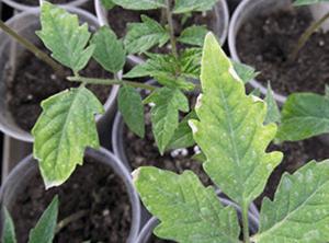 у розсади томатів засихають кінчики листя
