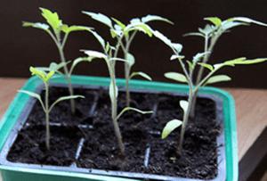 розсада томатів витягується