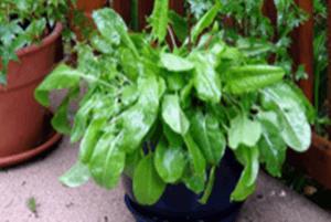 Вирощування зелені щавлю на підвіконні