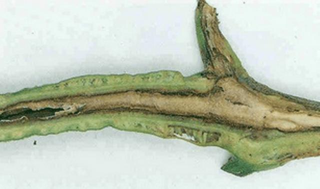 Некроз серцевини стебла томата - опис з фото.