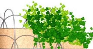 Висадка насіння огірків