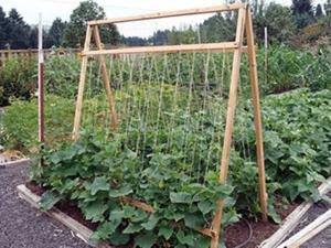 Шпалерний спосіб вирощування огірків