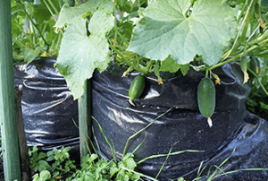 Вирощування огірків в пакетах або мішках