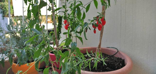 Як виростити годжі (тібетський барбарис) на дачі
