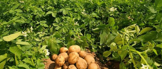 Як підвищити врожайність картоплі на присадибній ділянці