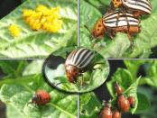 Шкідники помідор (томатів):Капустянка,Дротяники,Білокрилка,Баштанна (бавовняна) тля,Нематода,Колорадський картопляний жук,попелиця.