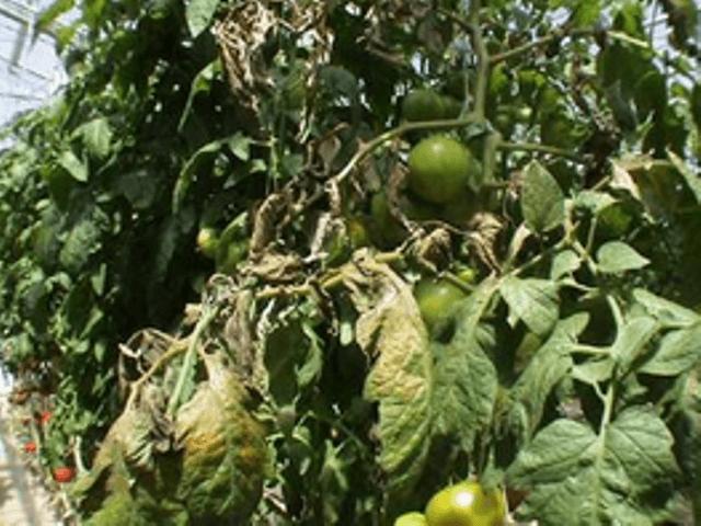 Іржавий кліщ томатів
