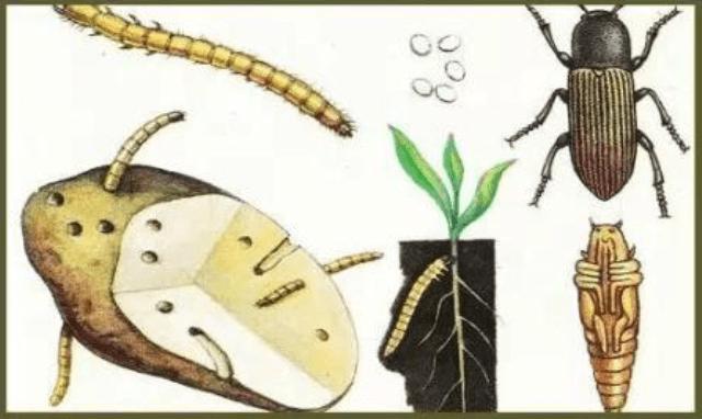Боротьба з дротяником народними засобами